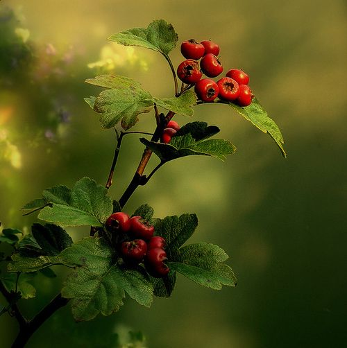 Hawthorn by Gerben Certain plant species may also be a clue to a hedge's history. Hedgerows containing only one species - usually hawthorn (Crataegus monogyna), or quick, or May as it is sometimes called - were often planted as a result of eighteenth century parliamentary Enclosure Acts.