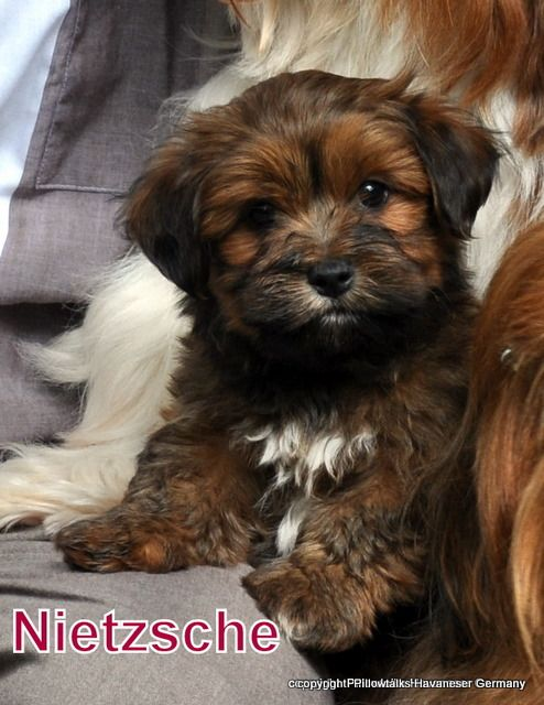 havanese pictures | Colors / Colours in Havanese - Havaneser Farben - info chocolate brown ...