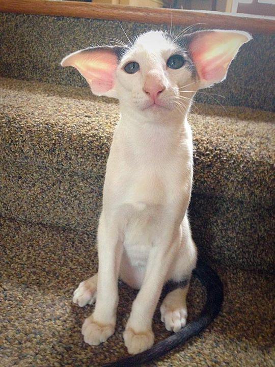 Image result for hairless dobby cat