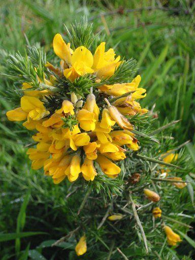 Fiore del Calafate - Patagonia