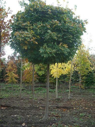 Acer globosum 20-25cm