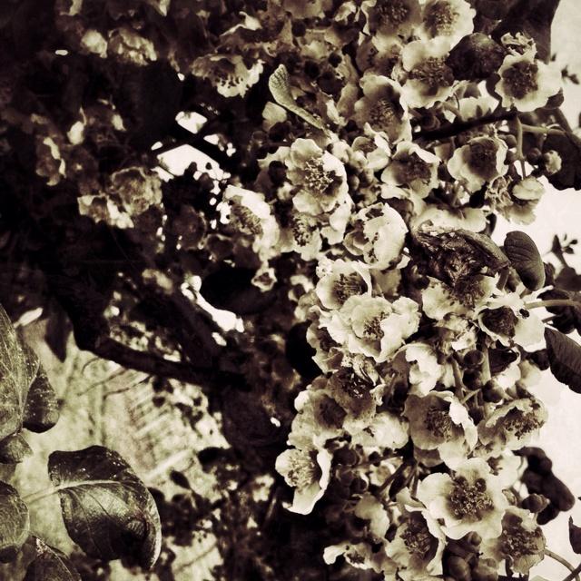 Fiori di kiwi