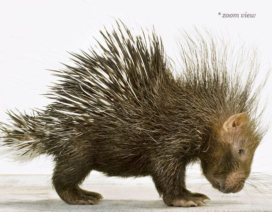 Baby Porcupine | Sharon Montrose | Baby Animal Photography Prints