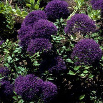 Trachelium Blue