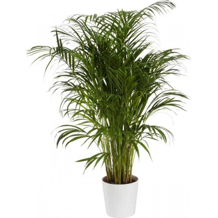 Guldpalmen är en lättskött och populär växt med fina blad som har luftrenande egenskaper och som trivs utmärkt i ditt hem. ...