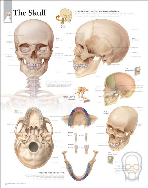 an analysis of the head face and neck of the human body But structurally quite different in origin from the body the head and neck the human face contribute to the formation of head and neck and in the human.