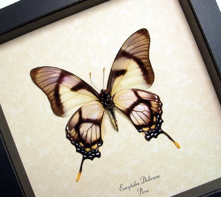 real conservation quality framed butterfly display 495 3999 via etsy