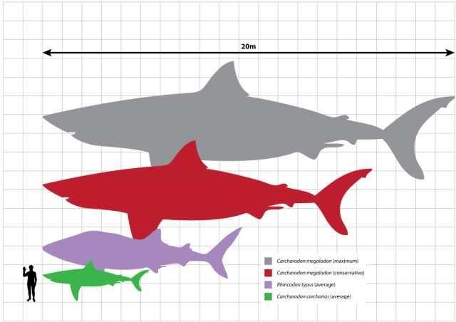 26. Мегалодон жил 28 -1,5 миллиона лет назад. Это старший брат большой белой акулы, чьи зубы достигали 18 сантиметров в длину. Эта акула достигала 15 метров в длину и 50 тонн веса, являясь самой большой хищной рыбой когда-либо существовавшей. Мегалодон мог бы целиком проглотить автобус.