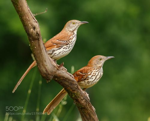 Brown Thrasher Pair by Mike Bons