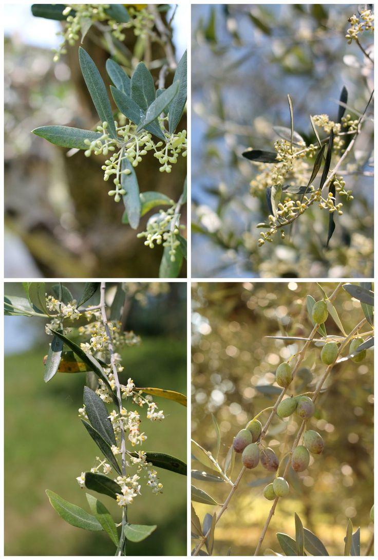 olive-del-Garda