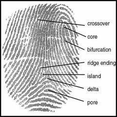 criminology essays fingerprints science crime Forensic science and criminology  are over 70 million criminal fingerprints, and growing, stored in the iafis database  center for evidence-based crime policy.