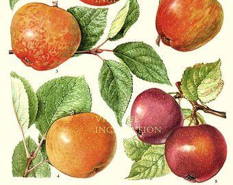 Vintage botanische afdrukken antieke APPLE rassen 55, plant afdrukken botanische print, bladwijzer art print, apple fruit planten plant muur print