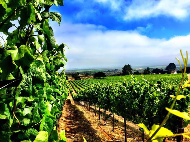 A Spectacular Sight At Soberanes #Vineyard In The Santa Lucia Highlands! -Twomey Cellars #NapaValley