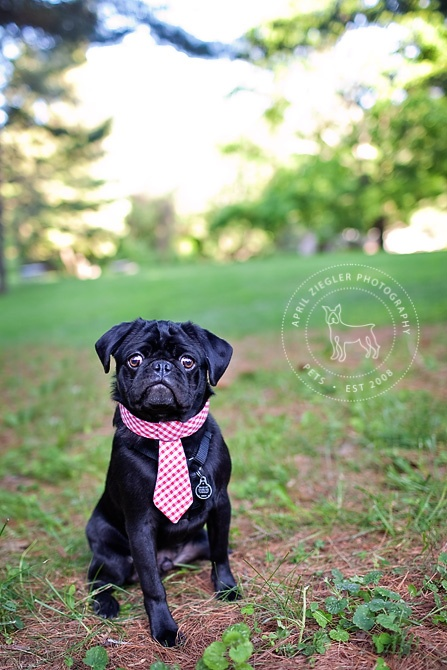 Via April Ziegler Photography: Face, Pet Photography, Funny Puppy, Pet Photoshoot, Luvs Dogs, Collar, Black Pug, Pets Photography