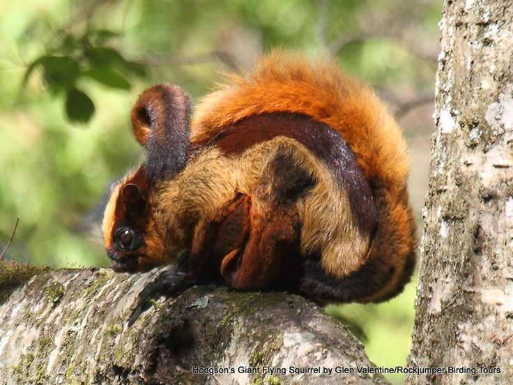 Travancore Flying Squirrel