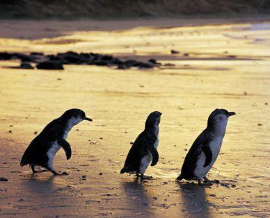 Penguins St Kilda, Melbourne