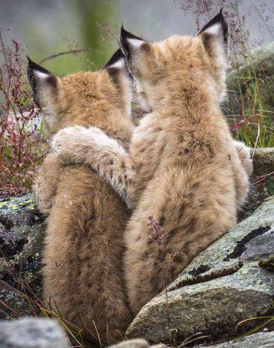 Deux jeunes lynx sont collés-serrés dans le parc national de Langedrag, en Norvège.