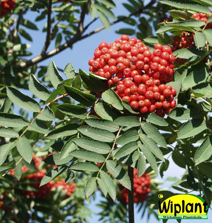Sorbus, olika sorters rönn. Vita blommor, vackra bär på hösten. Höjd: 2,5-25 m.