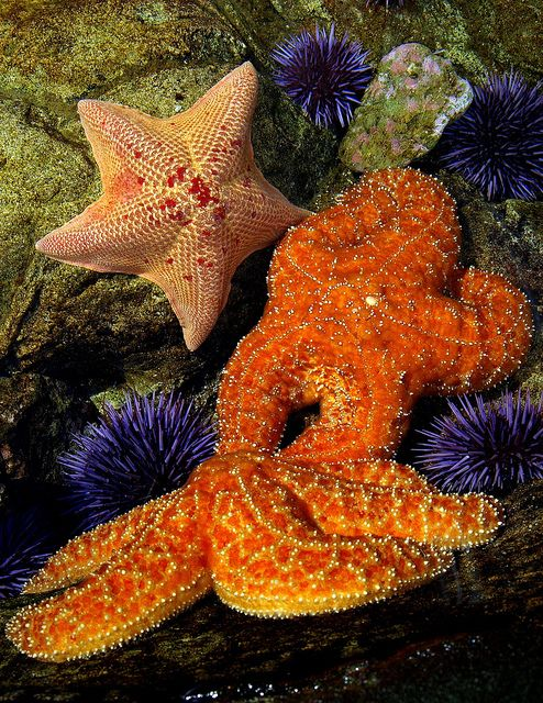 Starfish and Sea Urchins by spicysquid1, via Flickr