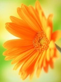 Download Orange Sunflower Mobile Wallpaper | Mobile Toones Download Orange Sunflower Mobile Wallpaper | Mobile Toones