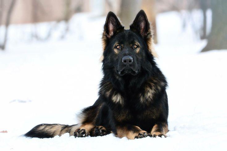Long coat black sable DDR German Shepherd