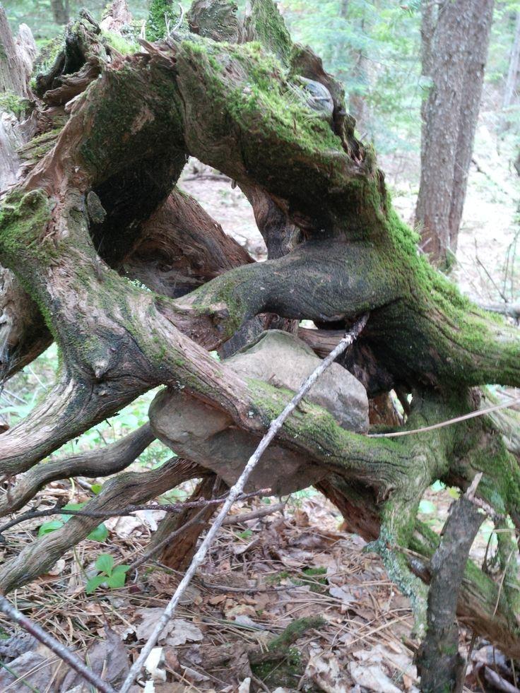 En quête de trésors. Aujourd'hui, je vous emmène à la découverte d'une salade bien particulière. En pleine chaîne des Appalaches, dans la forêt acadienne, rendez-vous au pied d'un arbre avec Bernad...