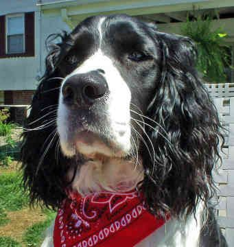 Springer Spaniels look like such a soulful, honest breed