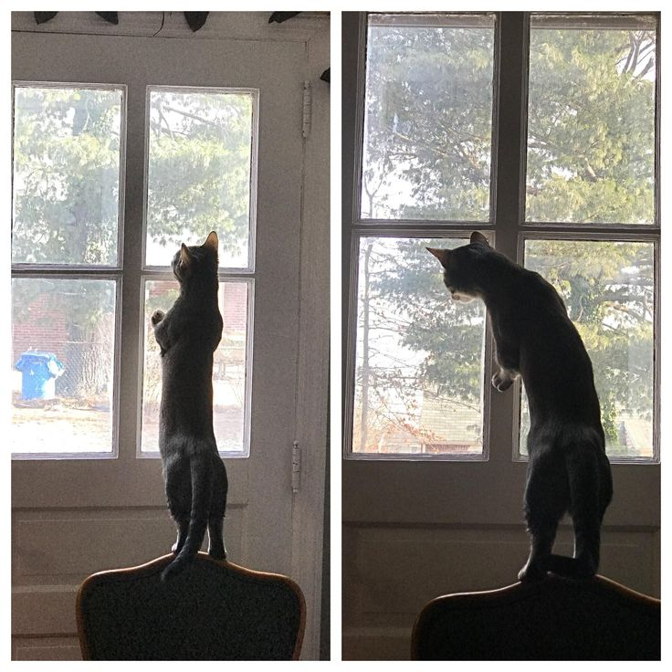 My cat went from being the cute munchkin kitty to the annoying neighbor that yells at kids who go near his lawn. Instagram: atlas_munchkin