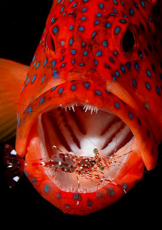 First Prize, Open Print Category: Coral Grouper and Cleaner Shrimp (Alan James)