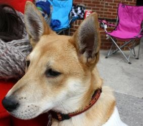 Maxi is an adoptable Shepherd Dog in North Wales, PA. Hi I am Maxi and I am an adorable 10 week old female shepherd mix puppy insearchof a home. Like most puppies I love to play, eat, sleep go to th...