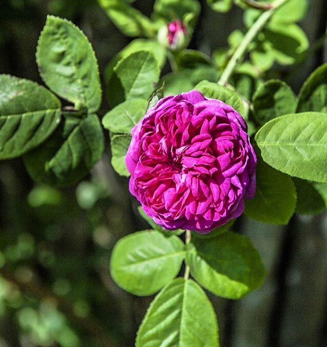 - Rose de Rescht - One of Jette's beautiful antique roses #rosederescht #antiqueroses #roses #garden #gardening #jettesgarden #gardenvisits #gardendesign #jettefrölich #jettefroelich #jettefrölichdesign #jettefroelichdesign #danishdesign #interiordesign #homedecor #gardendecor