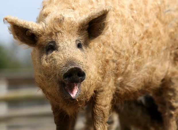 Wooly pigs. They are endangered.  The Tropical Wings zoo in Essex is trying to save the breed.