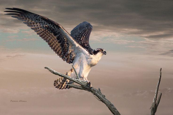 """Osprey Landing.""   Photography. Artist: Patricia Alleman"