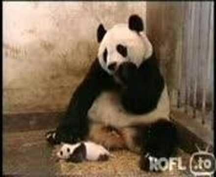 Pandababy sneezes and scares his mother :-)  Panda niest und erschreckt seine Mutter^^