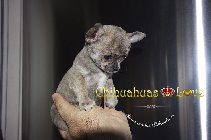 http://chihuahuas-love.com/cachorros-en-venta/omar-detail