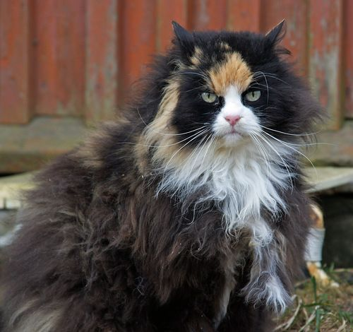 fluffy calico cat - photo #12