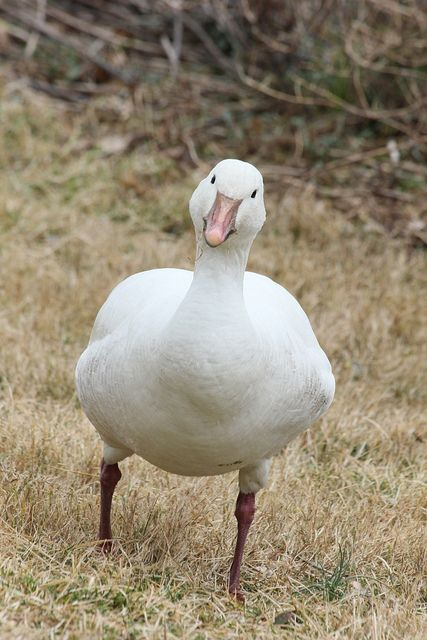 Curious Snow Goose by chiptape on Flickr