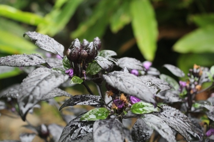 Black pearl chilli, this plant brings great contrast to the garden with its black foliage and fruit that ripen to a bright red. #tropical #garden #chilli