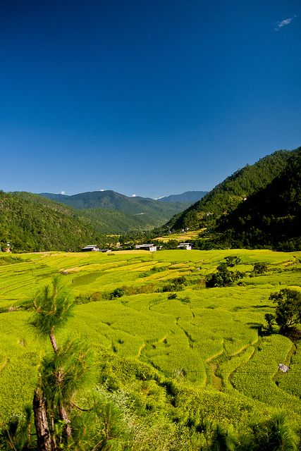 Punakha, Bhutan. Rice crops between the rivers Pho Chu and Mo Chu.