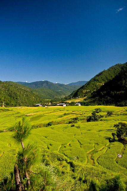 Punakha, Bhutan. Rice crops between the rivers Pho Chu and Mo Chu.