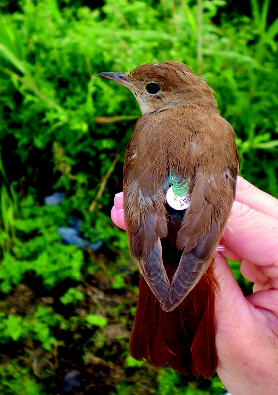 A Hand-Held Nightingale Bird ~ Noted For its Rich Melodious Song.