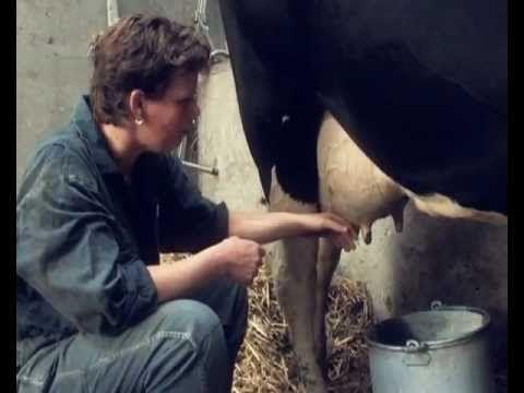 De Koeien Melken - YouTube