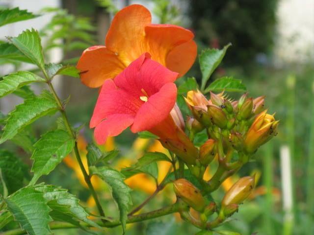 7月15日の誕生日の木は、夏空にオレンジ色の花が印象的な「ノウゼンカズラ」。鮮やかな色とラッパ型の花が空に向かって咲いている姿は一見トロピカルな雰囲気を醸し出していますが、実はオリエンタルで中国中部から南部が原産地となるつる性植物です。平安時代には利尿や通経に効目があるとされ漢方薬として栽培されていました。ノウゼンカズラはとても生育力旺盛で、地下茎を延ばし新芽を周囲に芽生えさせて繁殖し、丈夫で寿命も長い事で知られています。金沢市の兼六園・玉泉園にある古木は、豊臣秀吉が朝鮮半島から持ち帰ったものだとか。
