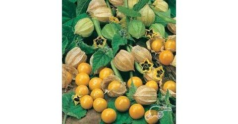 Physalis edulis  Tangy, delicious fruits are produced within a papery case.