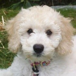Our Dads « Spingview Mini Goldendoodles.