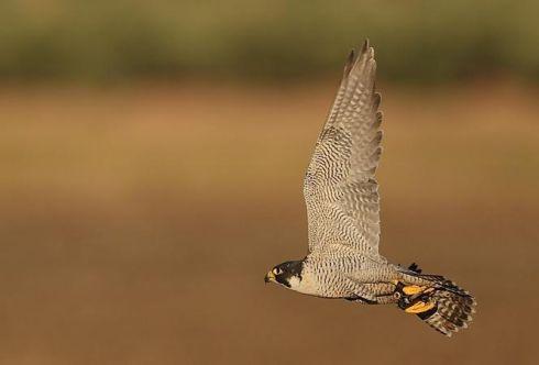 Record animaux faucon pélerin