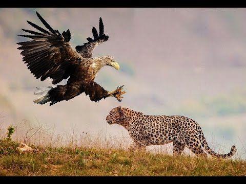 Leopard vs. Eagle vs. Lion vs. Hyena - YouTube