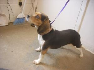 ADOPT [[PLEASE SHARE]] This girl is such a sweetie! We do not have much information on her other than she is a young, female beagle. Please if interested in saving her life, contact the pound ASAP. They are closed today due to the holiday but will reopen tomorrow morning ♥ #2 URGENT! ( 5 + YRS) is an adoptable Beagle Dog in Carrollton, OH. Available for a limited time from the Carroll County Dog Pound, 2185 Kensington Rd. NE, Route 9, Carrollton, Ohio 44615, 330-627-4244.