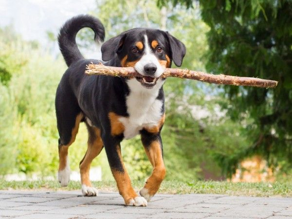 Appenzeller Sennenhund Dog Breeds Entlebucher Mountain Dog