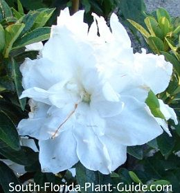 The beauty of dwarf azaleas is that they bloom on and off all year - even in shadier areas -staying small and manageable.